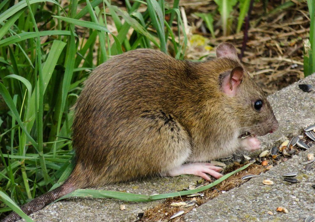 Patkány egy telek szélén